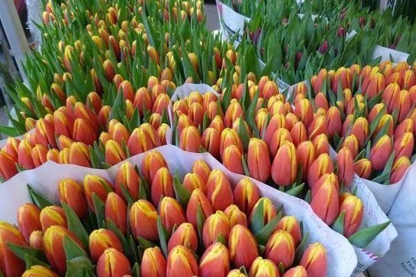 Тюльпаны лилиецветные — самые изящные весенние цветы
