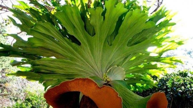 Выращивание и уход за платицериумом в домашних условиях