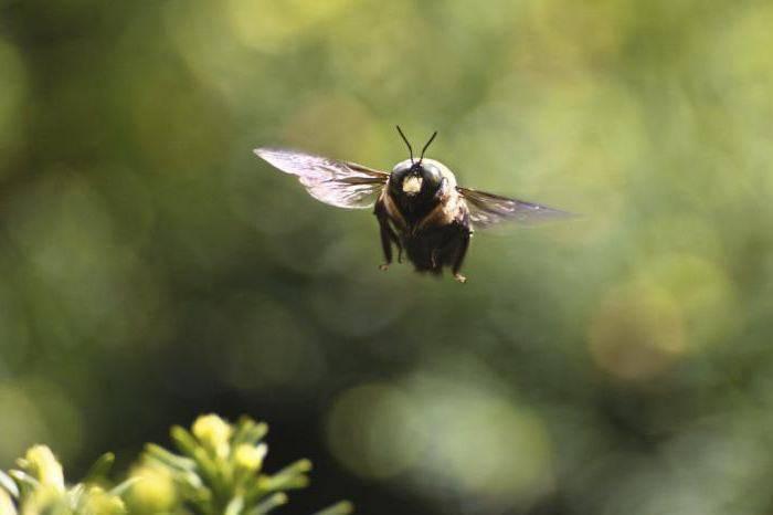Особенности и образ жизни жука навозника, чем любит питаться
