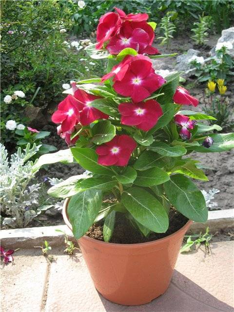 Катарантус: выращивание из семян в домашних условиях и в саду
