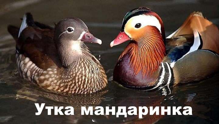 Утка мандаринка — общепризнанная красавица среди птиц: описание и фото