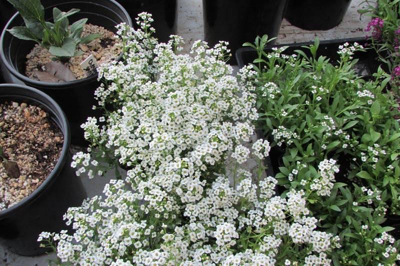 Алиссум – посадка и уход за ароматным цветком