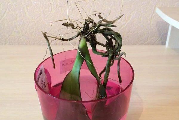 Такая полезная цитокининовая паста для орхидей