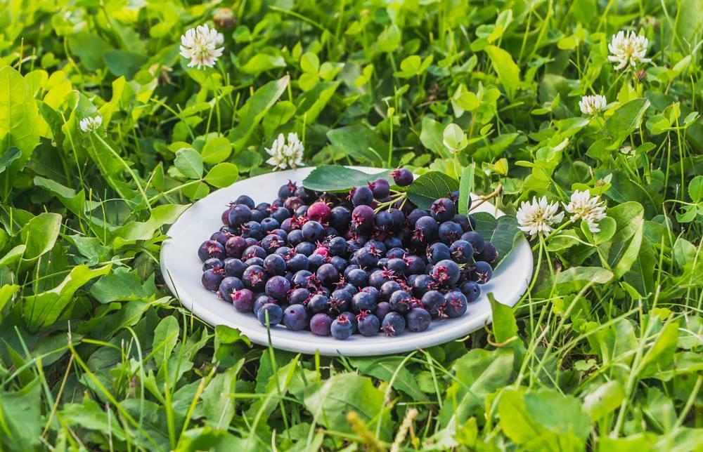 Ирга — ягода, которая лечит:полезные свойства и противопоказания