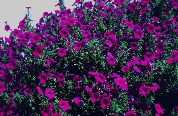 Выращиваем петунию из семян: секреты сильной и здоровой рассады