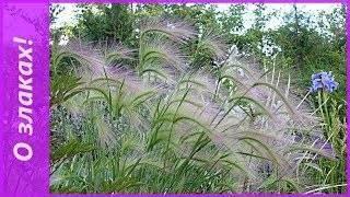 Декоративные злаки и травы в ландшафтном дизайне