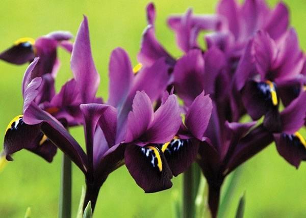 Посадка корневищных (бородатых и безбородых) ирисов весной и осенью: правила ухода и выращивания