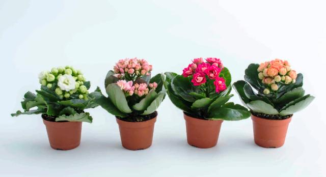 Как добиться обильного цветения каланхоэ – рекомендации по пересадке после покупки и уходу в домашних условиях