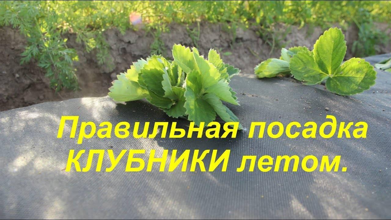 Легкий способ как посадить клубнику весной в открытый грунт