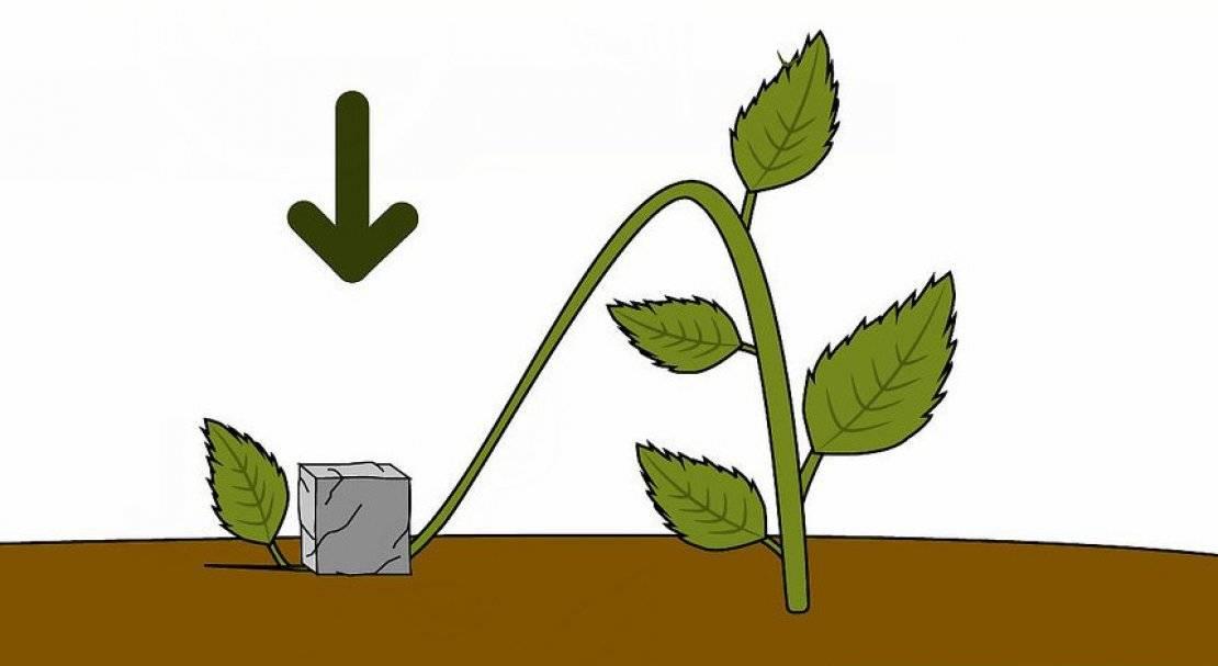 Как размножить гортензию: эффективные способы