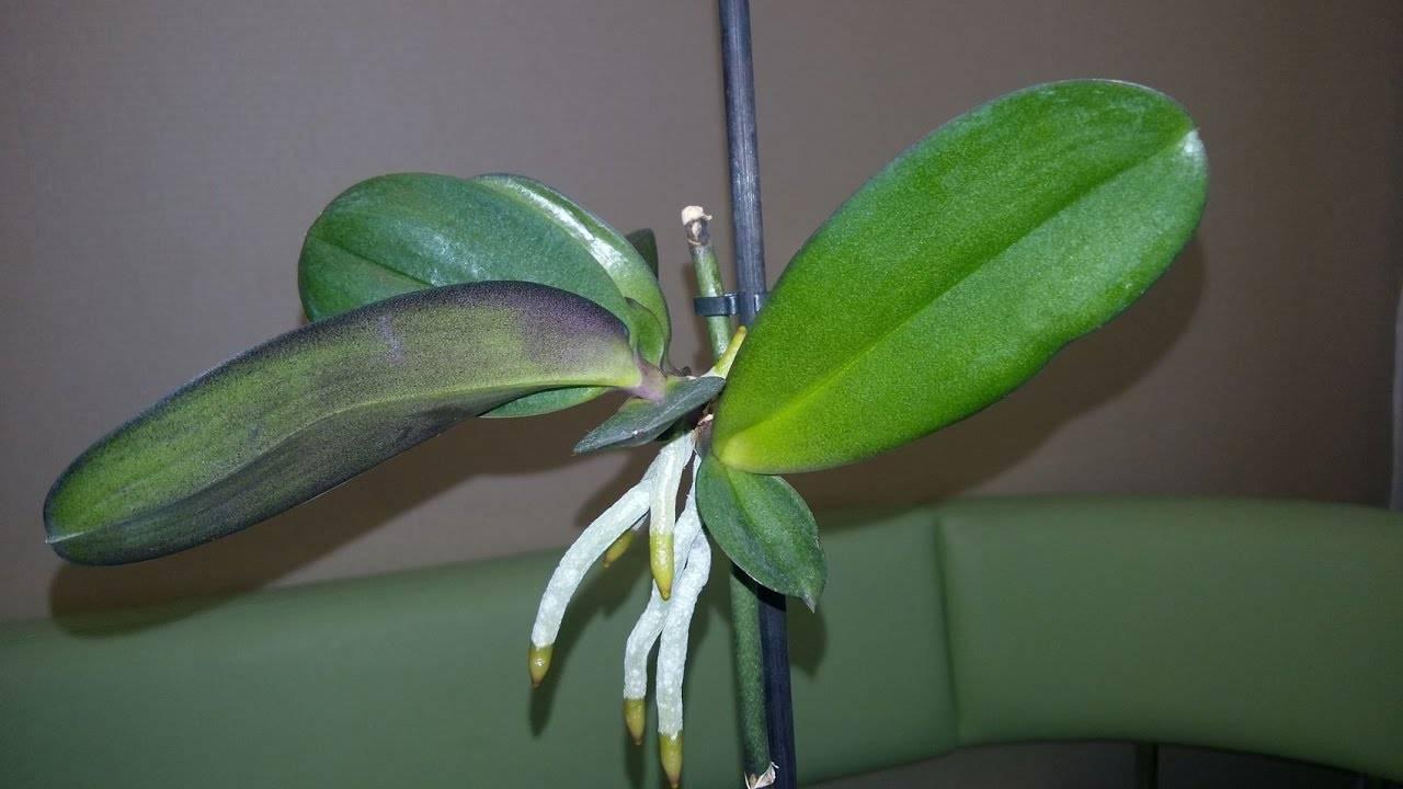 Секреты выращивания орхидей в домашних условиях