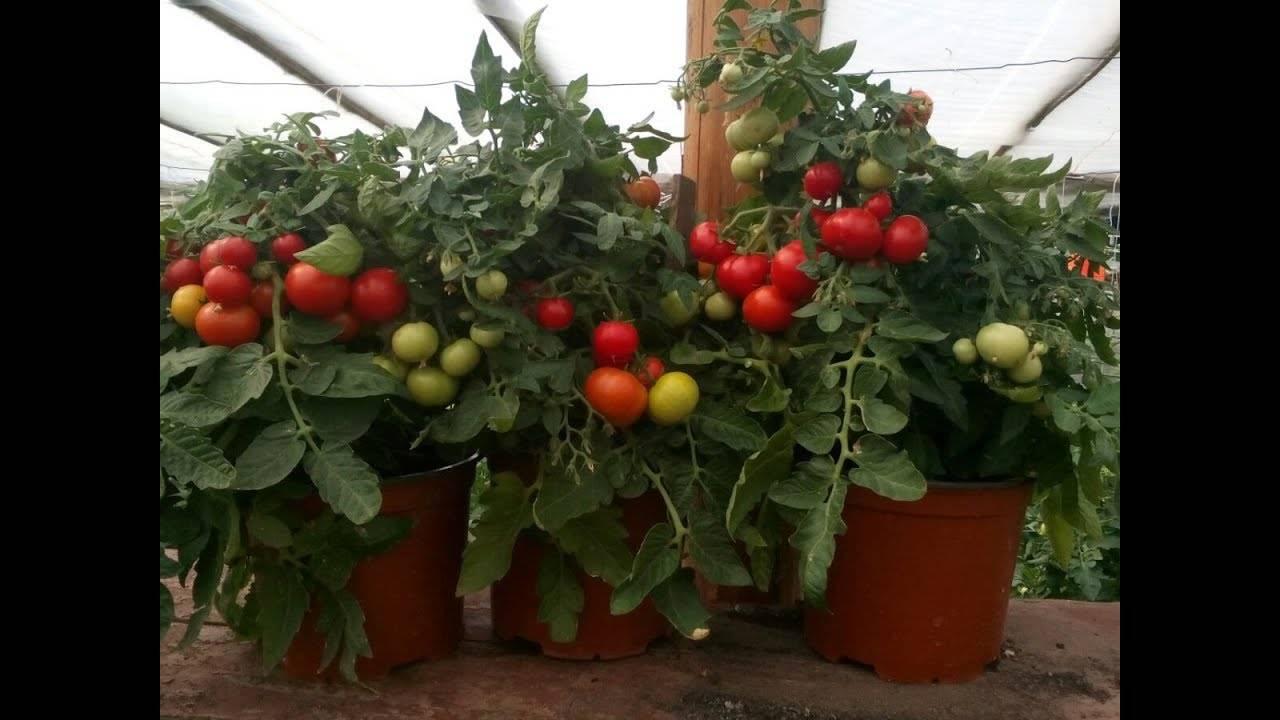 Помидоры черри в домашних условиях выращивание