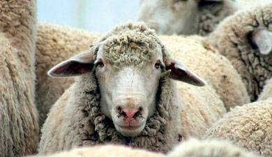 Содержание курдючных овец — овцеводство для начинающих
