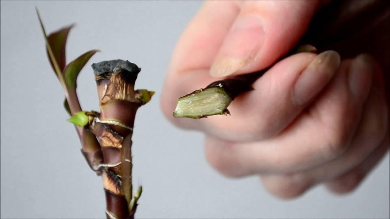 Эффектное растение с пышной и яркой листвой кордилина: виды цветка, фото и особенности ухода в домашних условиях