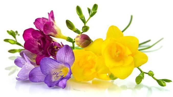 Выращивание фрезии в домашних условиях: советы, правила, рекомендации. выращивание фрезии в домашних условиях и на клумбе как выращивать фрезию из семян