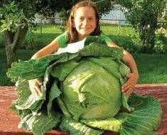Как правильно посадить капусту на рассаду