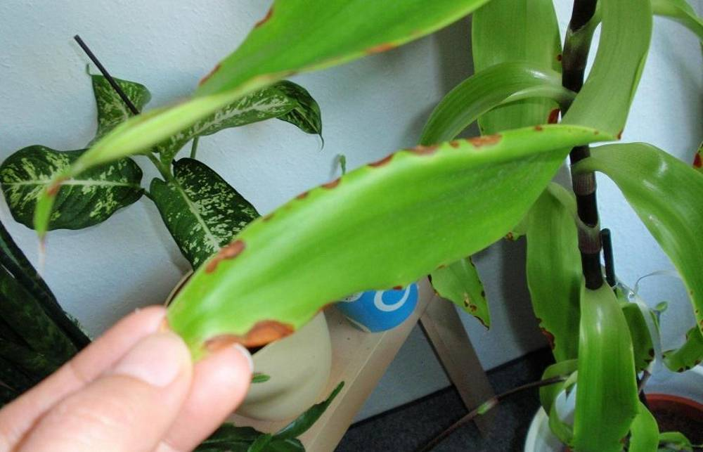Выращивание золотого уса в домашних условиях, правила ухода