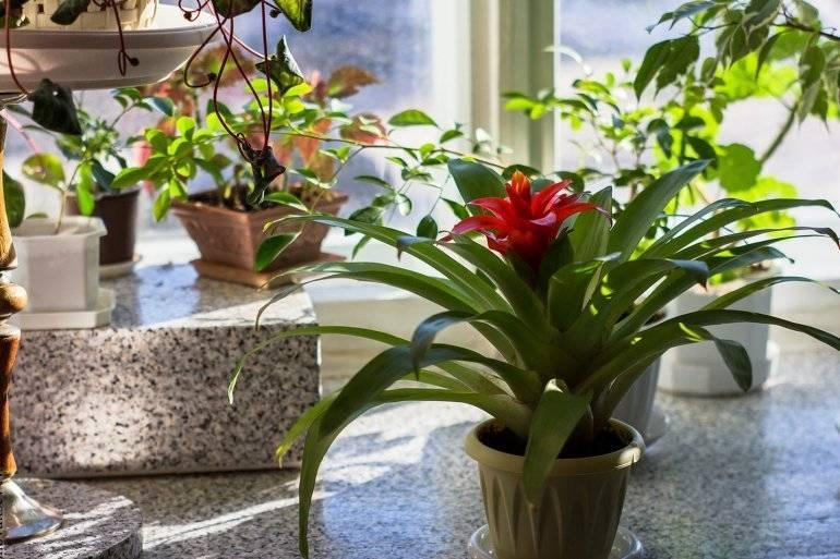 Особенности выращивания комнатного цветка гусмании