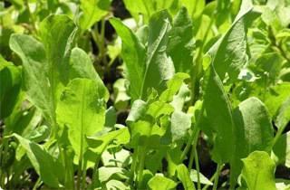 Выращивание редиса в теплице — секреты опытных дачников