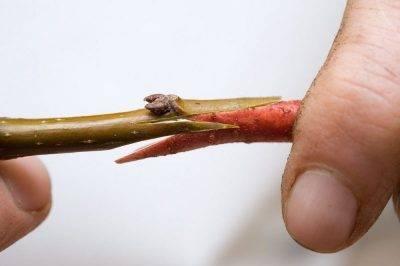 Способы размножения рябины: черенкование, прививка, семенной метод