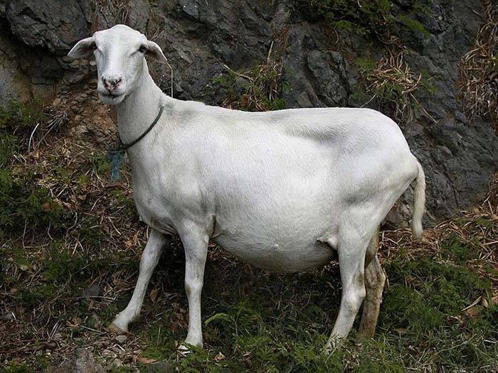 Самые серьезные и опасные болезни коз и их лечение