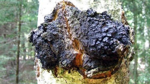 Березовый гриб чага. полезные свойства и применение в народной медицине
