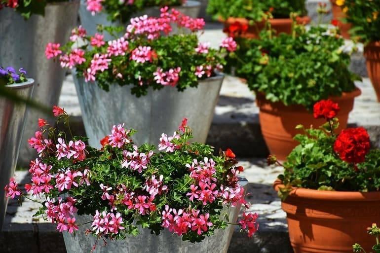 Рекомендации садоводам по уходу за геранью в открытом грунте