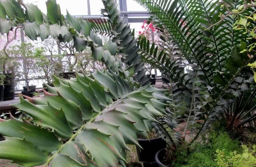 Вечнозеленый замиокулькас замиелистный. природные характеристики, посадка и уход за суккулентом