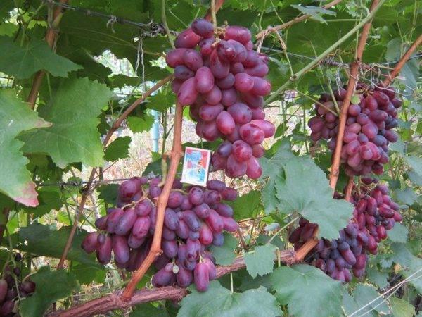 Плюсы и минусы выращивания винограда сорта аркадия