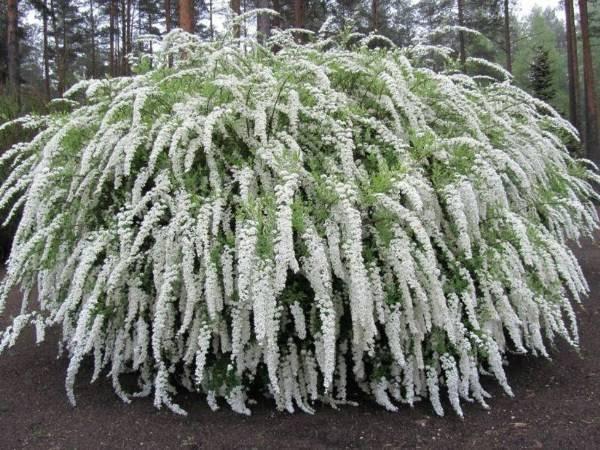 Правильная обрезка спиреи, уход за растением осенью, подготовка к зиме