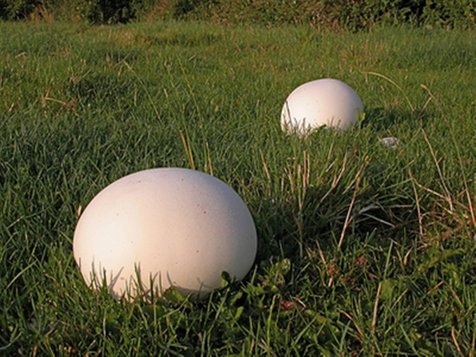 Вкусный и полезный гриб дождевик, описание и использование. дождевик съедобный