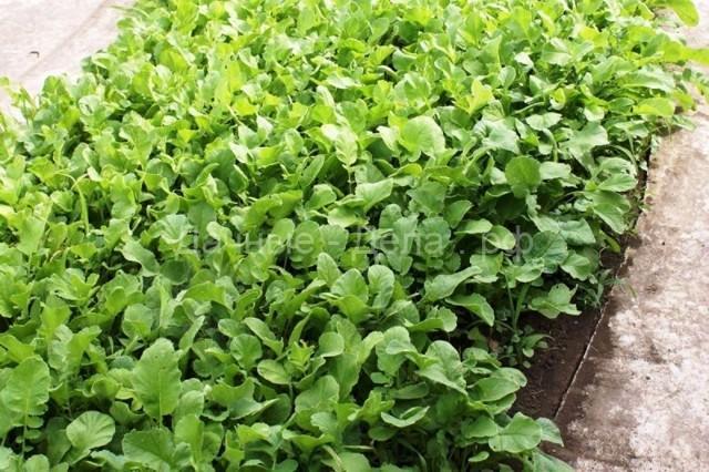 Медонос, сидерат и кормовая культура — масличная редька: описание, применение и выращивание вида