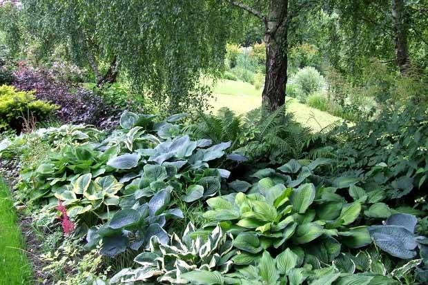 Очаровательная хоста: выращивание, посадка и уход в открытом грунте