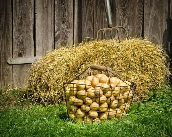 Выращивание картофеля под сеном или соломой: особенности, тонкости, инструкция