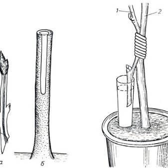 Особенности можжевельника: размножение и посадка