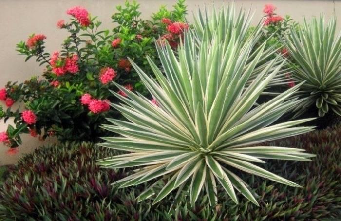 Пальма юкка – вечнозеленая красавица из семейства спаржевых