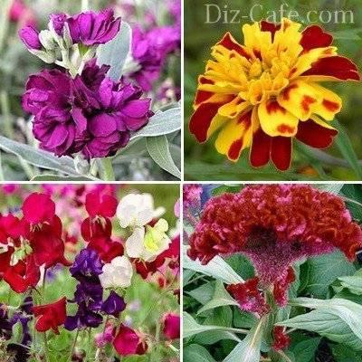Цветы «левкой»: посадка и уход в открытом грунте, выращивание из семян, фото
