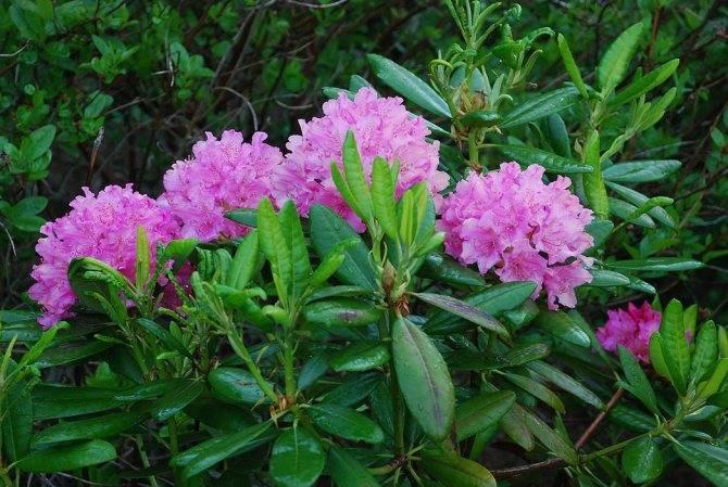Описание сортов рододендрона, посадка и особенности ухода