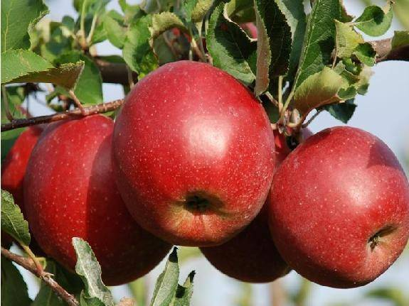 Яблоня глостер: характеристика и достоинства данного сорта