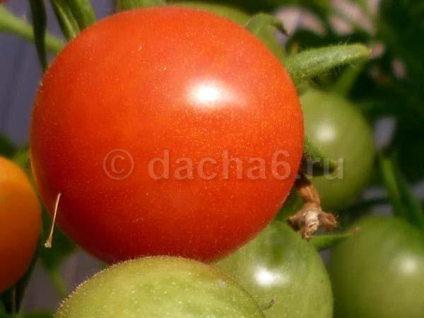 Помидоры «катя f1»: гибрид для тех, кто хочет собирать спелые плоды в июне