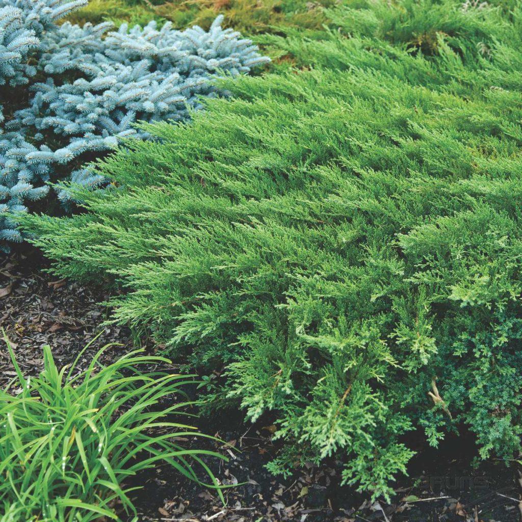 Можжевельник казацкий: фото, описание, сорта, выращивание
