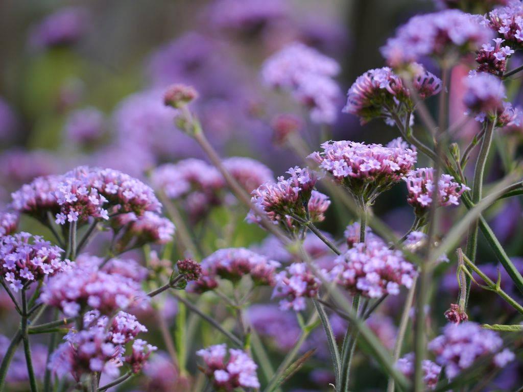 Вербена: посадка и уход, выращивание из семян