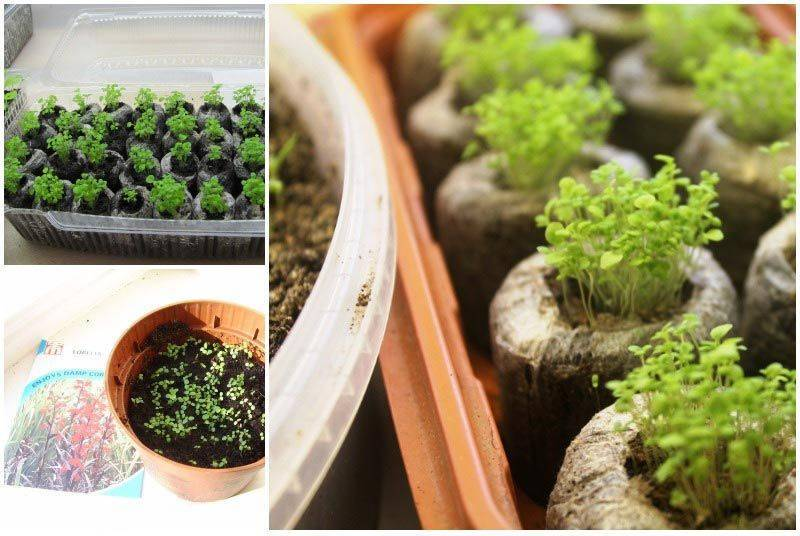 Выращивание лобелии из семян