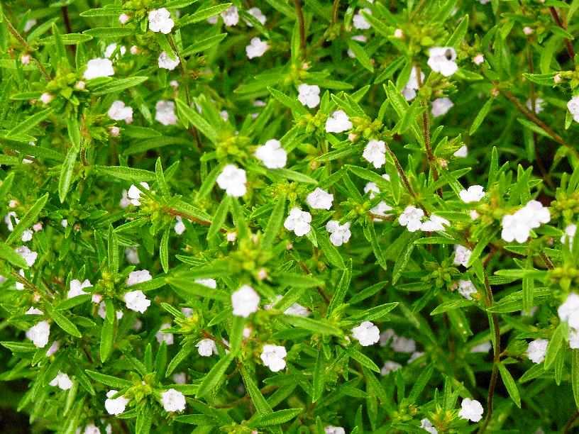 Ароматный чабер садовый: особенности выращивания и полезные свойства этого огородного жителя