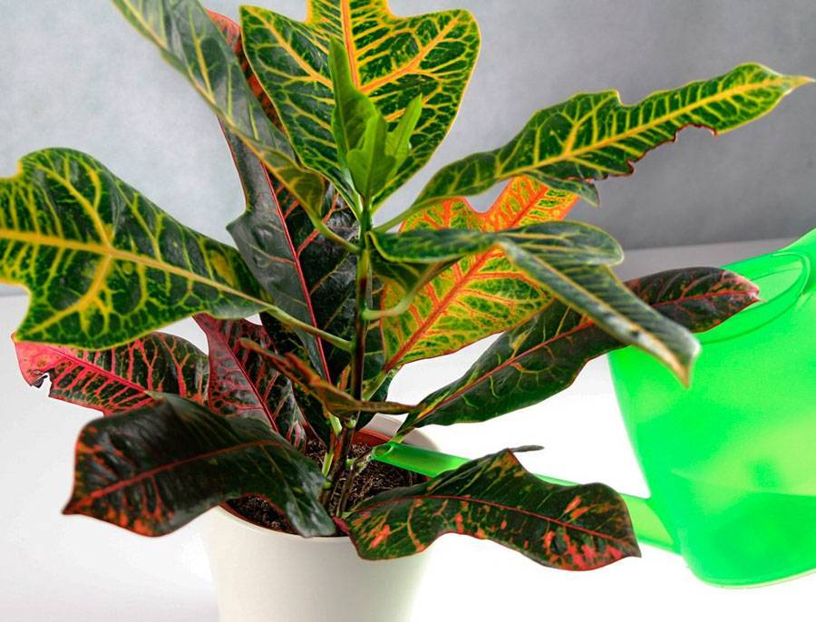 Кротон: уход в домашних условиях – полив, влажность воздуха, размножение, варианты подкормок. сорта растения