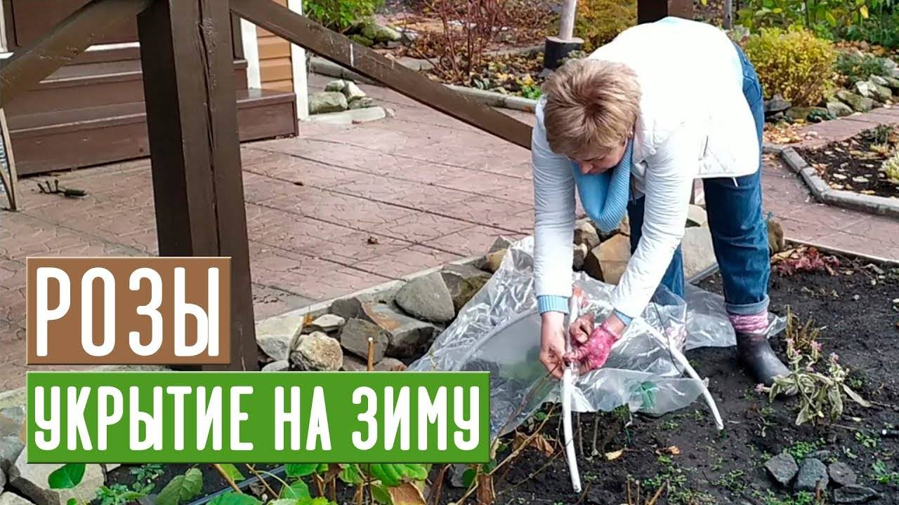 Видео хитрости укрытия кустов роз на зиму