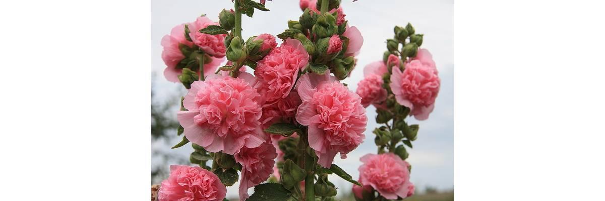 Описание растения шток роза — посадка и правильный уход