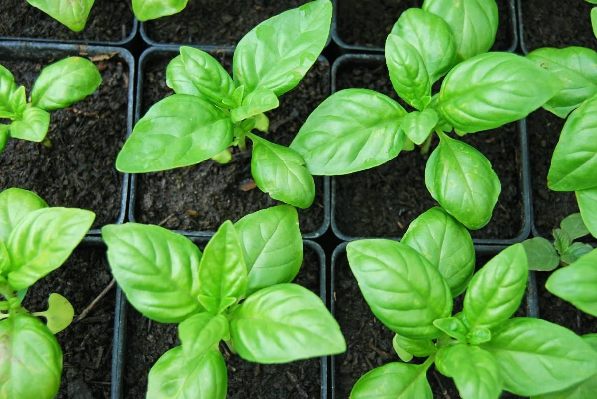 Кинза: выращивание в домашних условиях и в открытом грунте