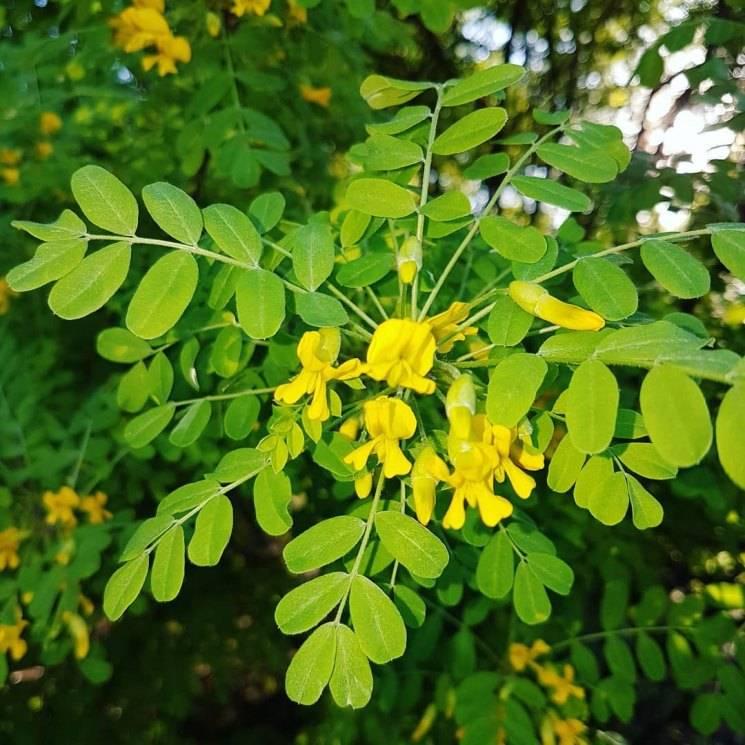 Карагана древовидная выращивание из семян. противопоказания к применению. уход за караганой