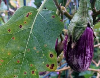 Методы борьбы с вредителями рассады баклажан